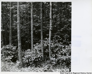A stand of second growth poplar trees about 30 years old with an understory of rhododendron on the Elklick Road in the Fernow Experimental Forest.